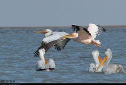 سواحل مَکُّران(چابهار وکنارک) زیستگاه بیش از 200 گونه پرنده